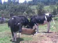COWS-e1415174934721